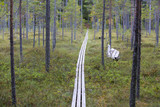 Wooden path also known as duckboards in the Finnish forest. Autumn day. Swamp scenery. Calm and silent morning. - 183383807