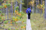 Hiking in the fresh air. Person walking on the wooden path out of focus. Focus point on the pine branch. Hiking concept image. Outdoor photo. - 183384815