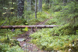 Fallen tree on the path. Finnish forest, autumn day. After the storm. - 183386872
