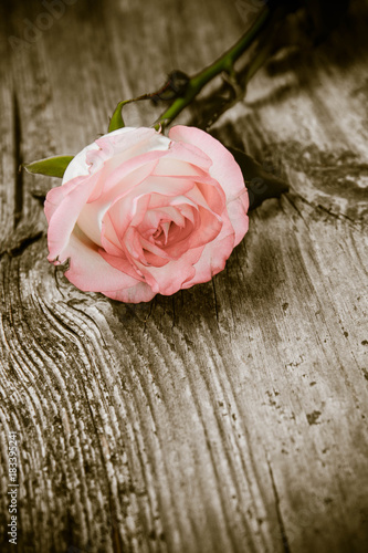 Wall mural White pink rose on a wooden background
