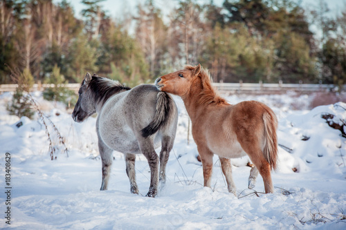 The herd of Polish conies against the background of a winter snow forest