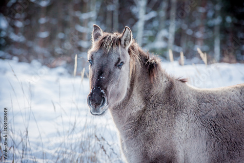 Plexiglas Wolf Horse of the breed Polish konik pose for portrait in winter against the background of snow
