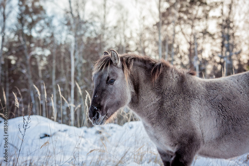 Horse of the breed Polish konik pose for portrait in winter against the backgrou Poster