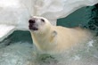 Polar bear, a species native to the arctic north and Alaska and sensitive to climate change and global warming
