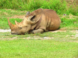 Rhino resting or sleeping in the grass with his horn - 183415873