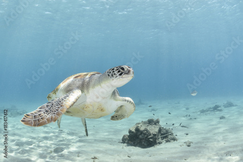Marine turtle on the left corner swimming to the right with blue background Poster
