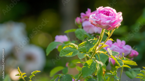 Fototapeta Blühende Rose im englischen Naturgarten