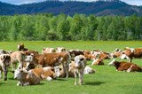 cows at meadow - 183444648