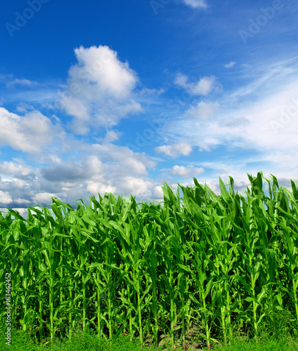 Foto op Canvas Groene Cornfield with Clouds on Bright Summer Day