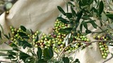 Picked ripe organic olives fruits on ground and olive tree branch top view - 183465464