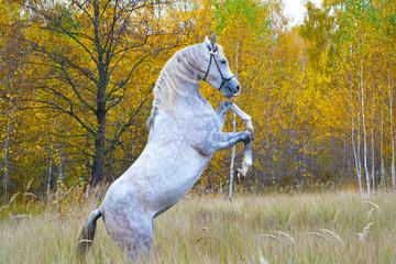 thoroughbred Arabian horse