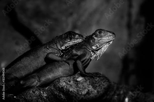 Plexiglas Kameleon Chameleon in nature black and white.