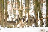 Roe deers in forest at winter - 183499247