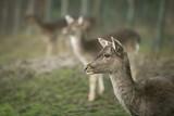 Roe deers in nature - 183499275
