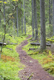 Path in the Finnish forest during autumn day. Slippery path way with stones and tree roots. - 183499473