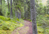 Path in the Finnish forest during autumn day. Slippery path way with stones and tree roots. - 183499477