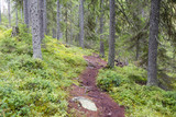 Path in the Finnish forest during autumn day. Slippery path way with stones and tree roots. - 183499487