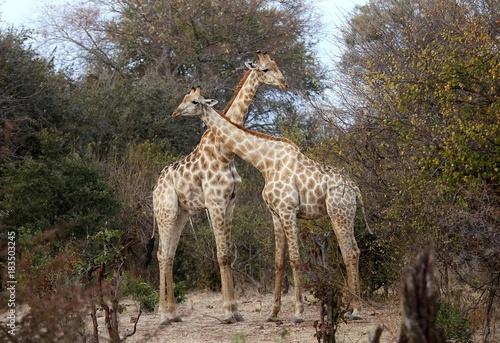 Male giraffe joust Poster