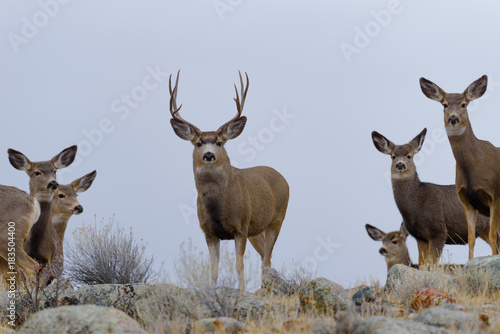 Fotobehang Hert Mule Deer Buck Ready for a rumble