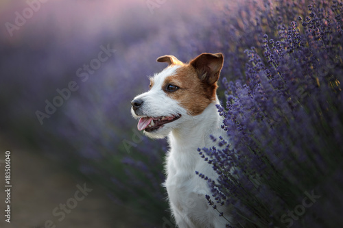 Papiers peints Lavande Dog Jack Russell Terrier on lavender field