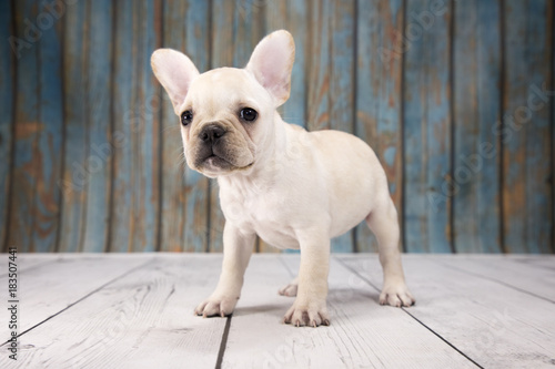 Canvas Franse bulldog French Bulldog with blue wood background