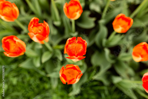 Plexiglas Tulpen Beautiful red tulips in a park in the nature