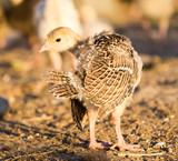 small turkey chickens graze on the farm - 183509274