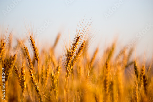 Foto Murales yellow ears of wheat at sunset in nature