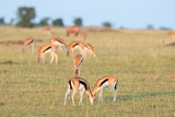 Thomson's gazelles grazing on the African savannah - 183510622