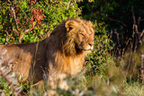 Male lion in the bush - 183510623