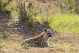Spotted Hyena lying down in the grass of the savannah and scouts - 183510635