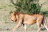 Lion male in Masai Mara, Africa - 183510644