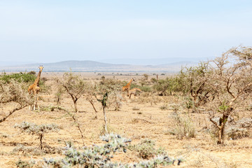 Giraffes standing among the trees in dry landscape