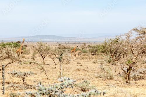 Fotobehang Wit Giraffes standing among the trees in dry landscape