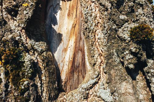 Papiers peints Bosquet de bouleaux birch forest in sunlight