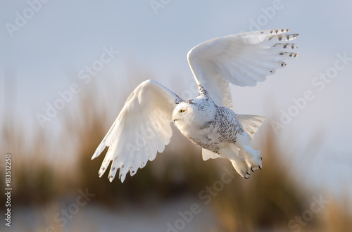 Poster Natuur Snowy Owl