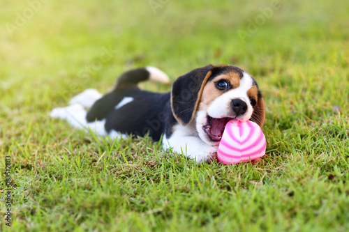 Cute little Beagle playing with ball in garden