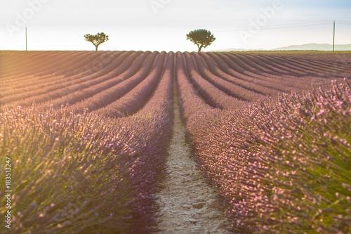 Poster Lavendel Big lavender field on sunset