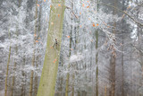 beech tree covered with frost in forest - 183516267