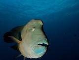 Big Napoleon Fish. - 183522877