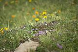 Alpenflora, Almwiese mit Wildblumen. - 183525245