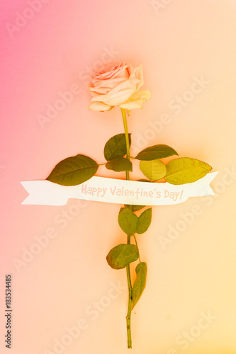 One pink blooming fresh rose flower with white ribbon on pink background, toned