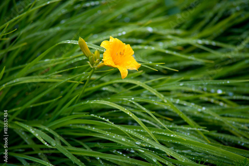 Plexiglas Lelietjes van dalen yellow lily flowers with green grass and drops
