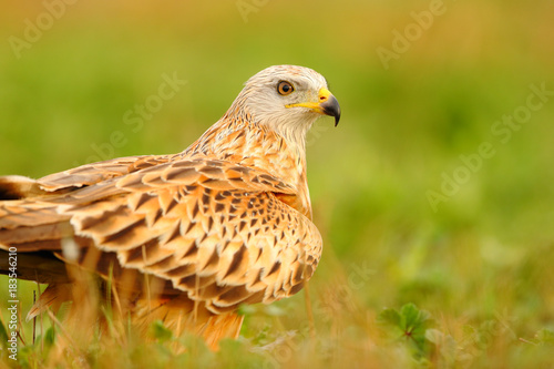 Portrait of a red kite on the grass