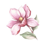 Image of blooming magnolia branch. Watercolor illustration - 183548078