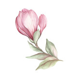 Image of blooming magnolia branch. Watercolor illustration - 183548096
