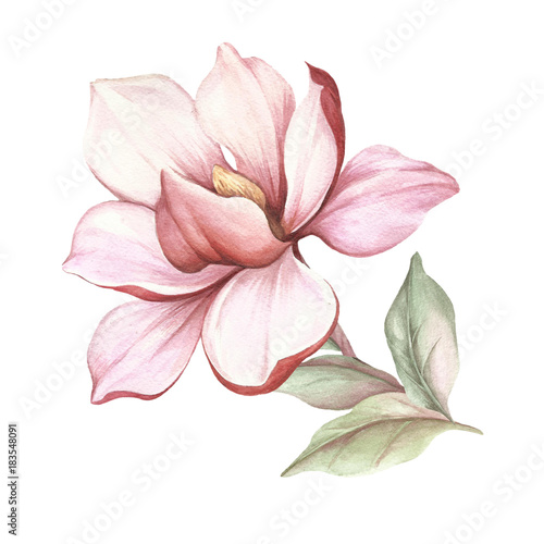 Image of blooming magnolia branch. Watercolor illustration - 183548091