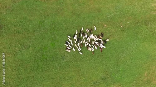Aerial shot of a herd of goats on the grass.