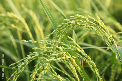 Foto op Canvas Gras Young rice ears in the green field.