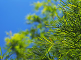 Bamboo leaves over blue clear sky background.